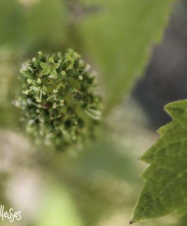 floraison-vigne